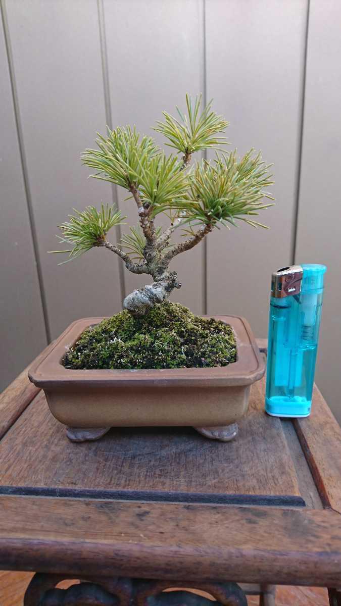 盆栽 五葉松 樹高12cm_画像5