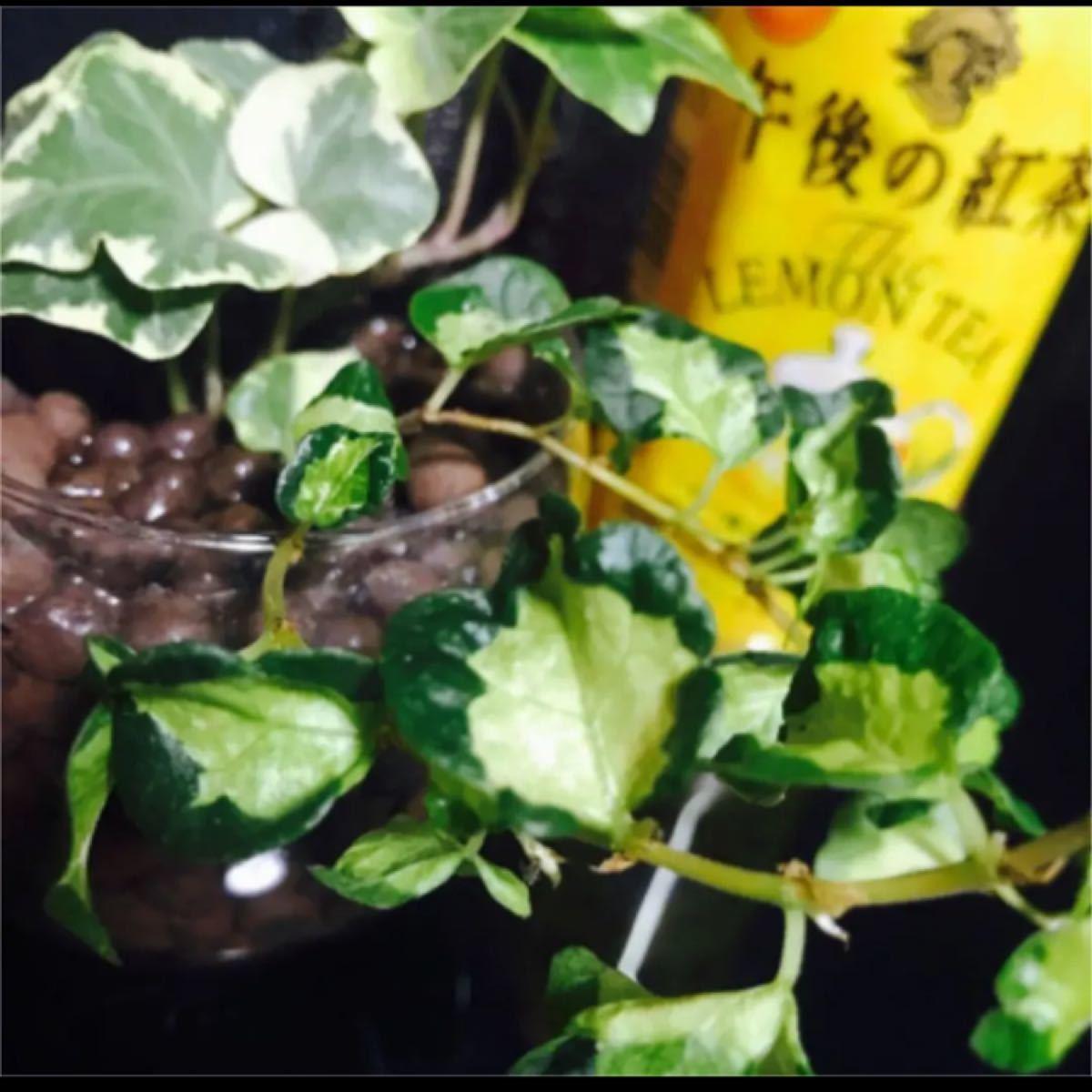 人気の斑入り2種セット フィカスプミラ月夜の光&アイビーホワイトワンダー 抜き苗