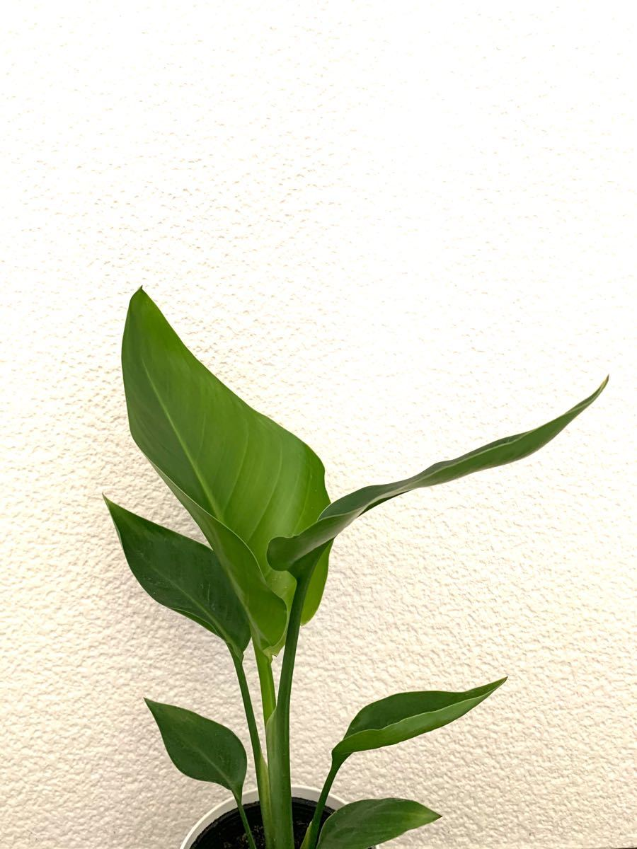 ストレリチア★観葉植物★
