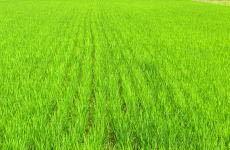 お中元にギフトに令和2年度産 京都府丹後産特別栽培米コシヒカリ白米5㌔  2980円_画像7