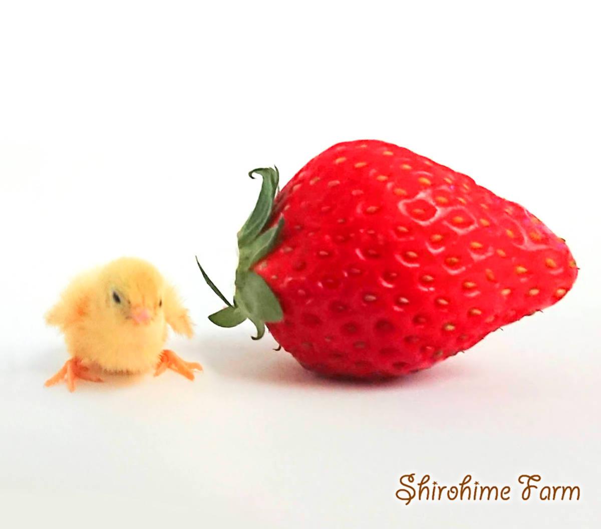 ◆強烈なかわいさ!!◆ ヒメウズラ【100%白姫】有精卵 6個 ■ ~おうちで楽しく幸せな時間を♪ ~ ■しろひめ牧場■_苺とせいくらべ♪おっきいなあ…