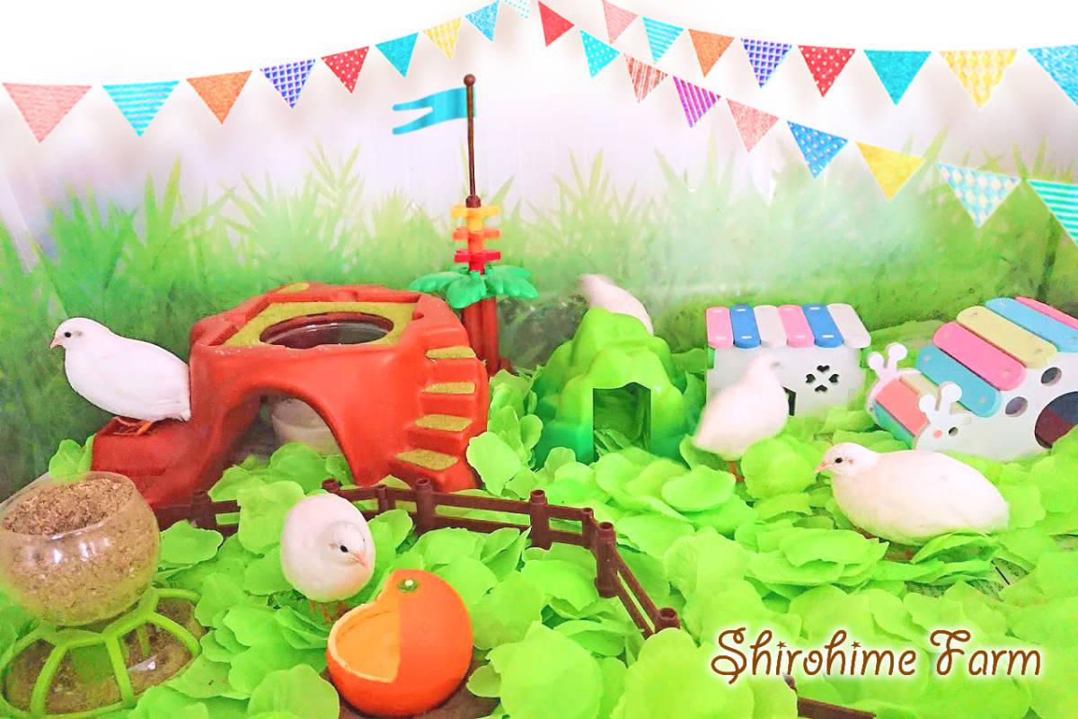 ◆強烈なかわいさ!!◆ ヒメウズラ【100%白姫】有精卵 6個 ■ ~おうちで楽しく幸せな時間を♪ ~ ■しろひめ牧場■_しろひめ牧場へようこそ~♪