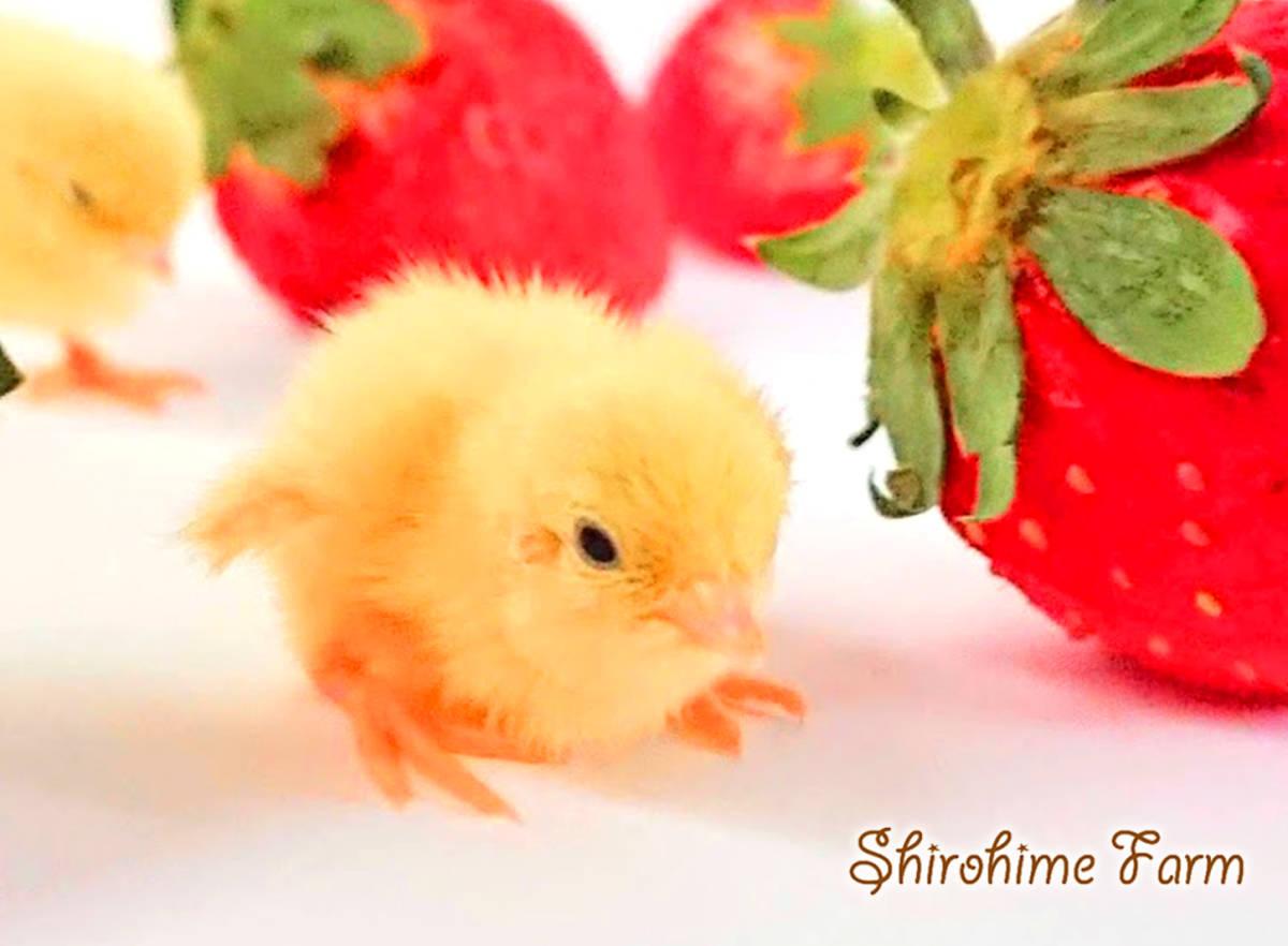 ◆強烈なかわいさ!!◆ ヒメウズラ【100%白姫】有精卵 6個 ■ ~おうちで楽しく幸せな時間を♪ ~ ■しろひめ牧場■_生まれてすぐに、じょうずに歩けるよ!