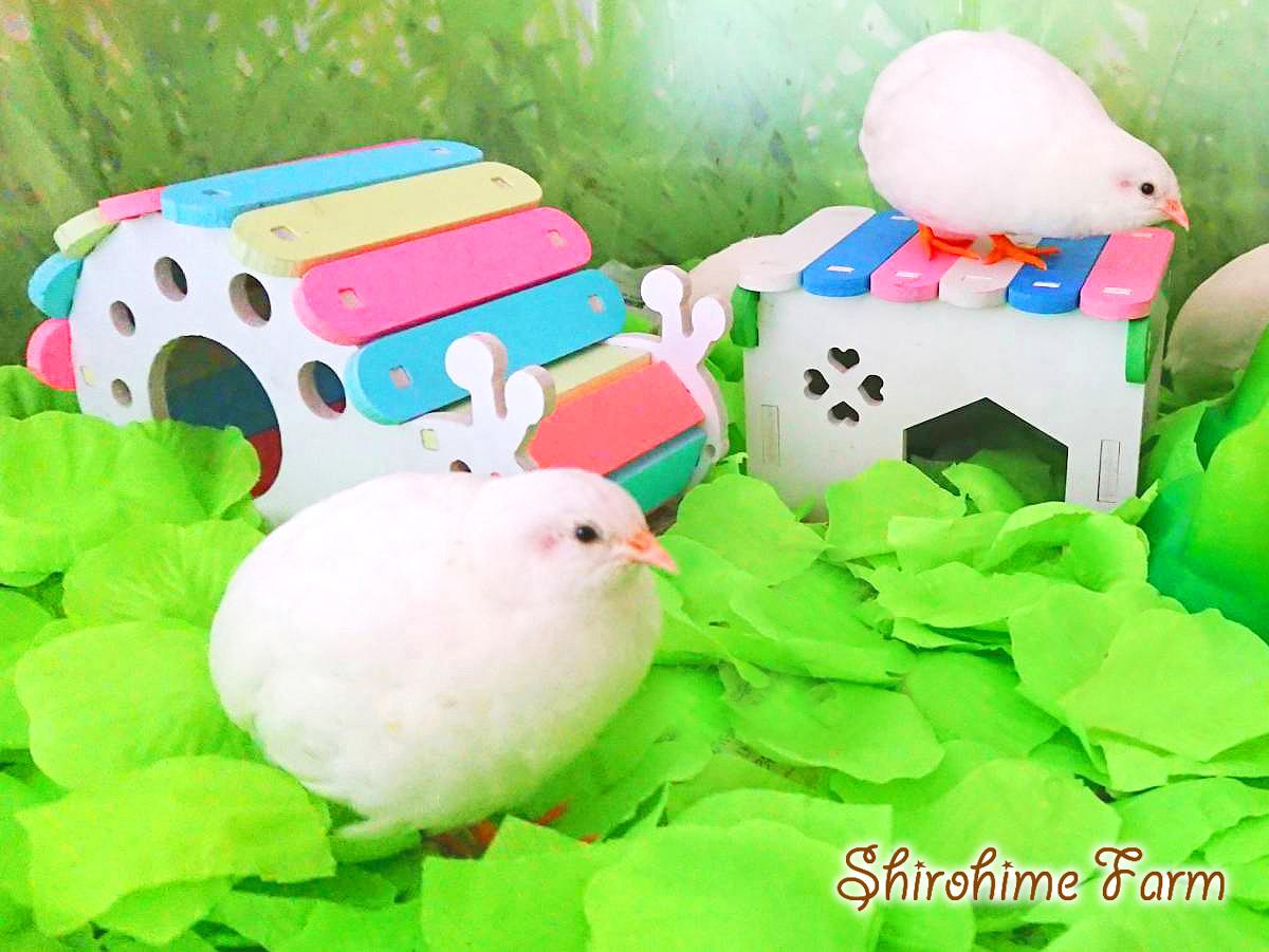 ◆強烈なかわいさ!!◆ ヒメウズラ【100%白姫】有精卵 6個 ■ ~おうちで楽しく幸せな時間を♪ ~ ■しろひめ牧場■_ポッピポッピ♪さえずりに癒されちゃう!