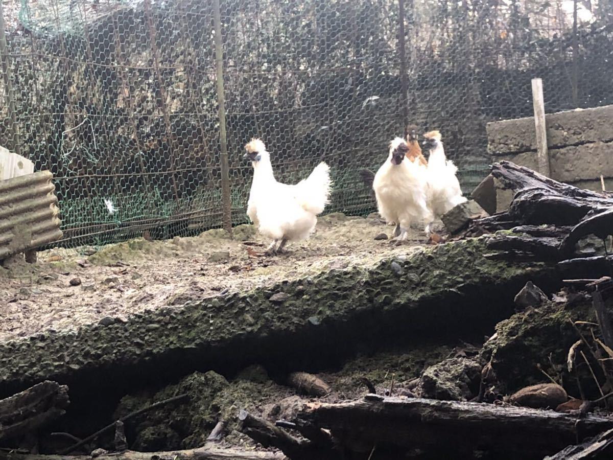 送料無料 烏骨鶏の卵10個 (食用有精卵)+割れ保証2個_画像3