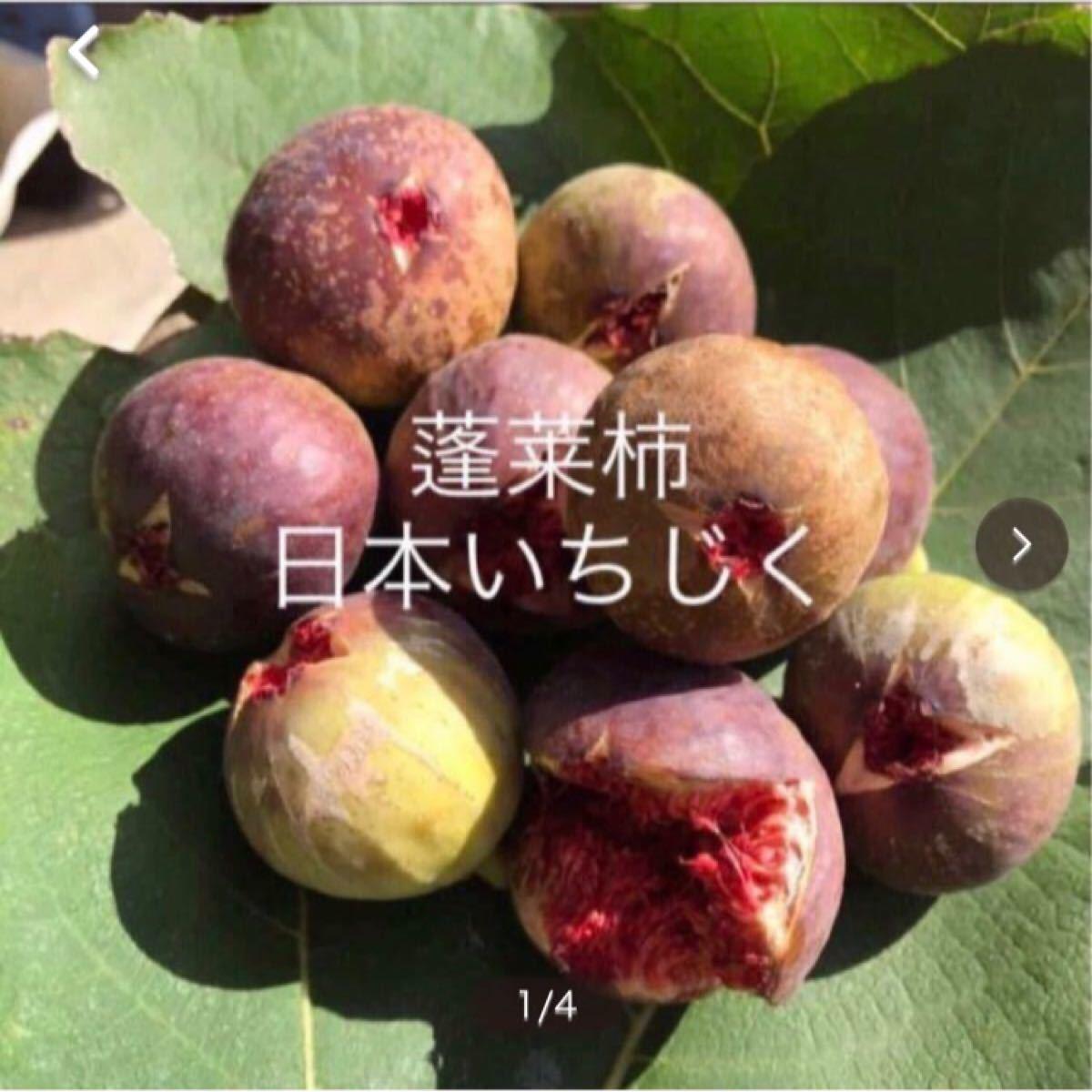 イチジク  挿し木用穂木 3本 蓬莱柿 日本種 白いちじく 無花果 thrq5 無農薬 果樹苗 いちぢく