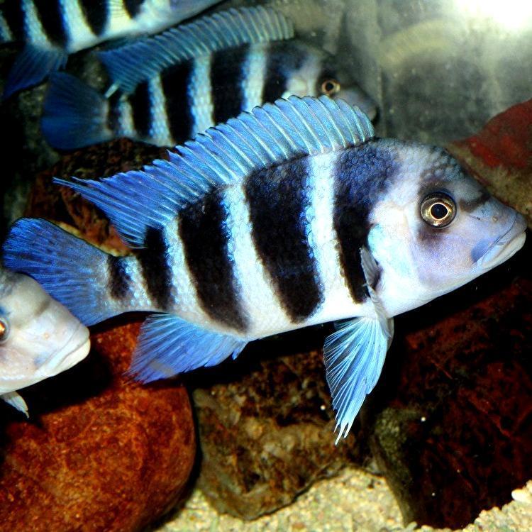 キフォティラピア ギベローサ ザイール ブルー モバ ±13cm 青 ZAIRE BLUE MOBA フロントーサ アフリカン シクリッド タンガニイカ 熱帯魚_画像9