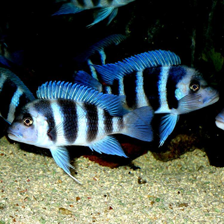 キフォティラピア ギベローサ ザイール ブルー モバ ±13cm 青 ZAIRE BLUE MOBA フロントーサ アフリカン シクリッド タンガニイカ 熱帯魚_画像7