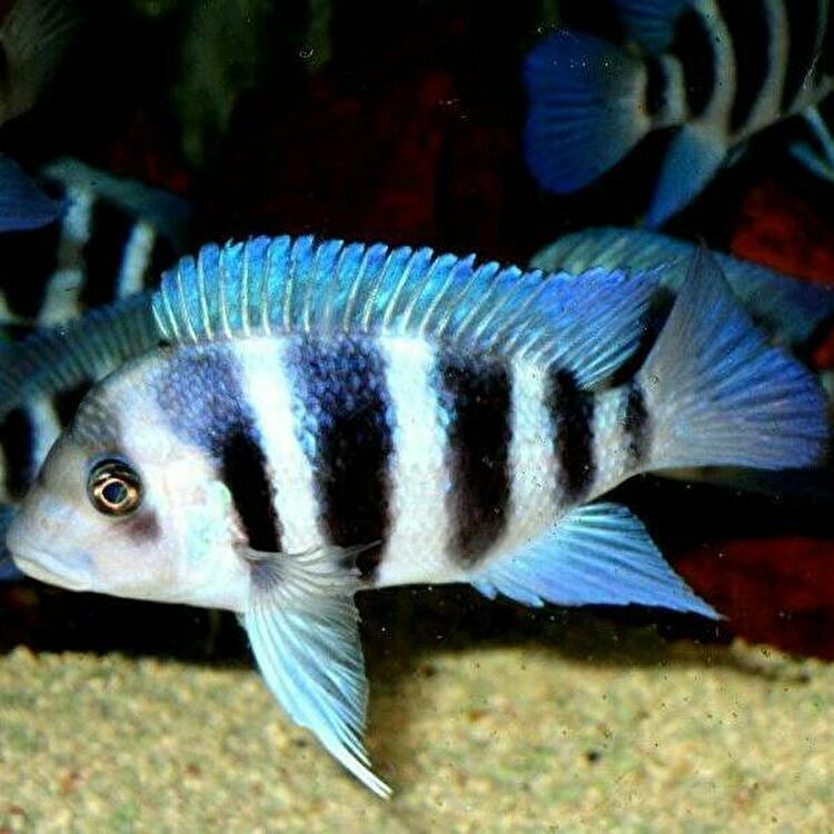 キフォティラピア ギベローサ ザイール ブルー モバ ±13cm 青 ZAIRE BLUE MOBA フロントーサ アフリカン シクリッド タンガニイカ 熱帯魚_画像8