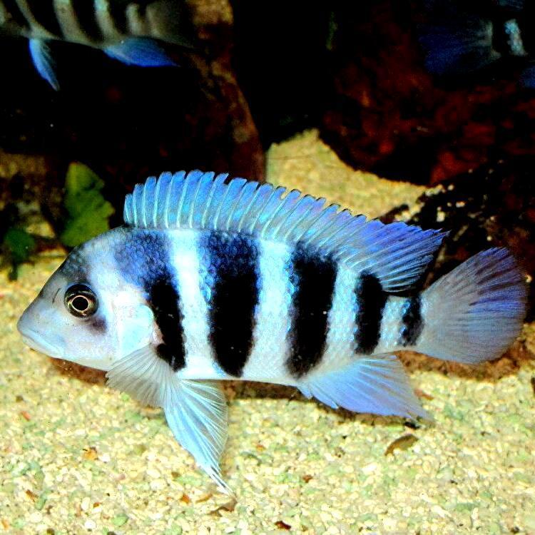 キフォティラピア ギベローサ ザイール ブルー モバ ±13cm 青 ZAIRE BLUE MOBA フロントーサ アフリカン シクリッド タンガニイカ 熱帯魚_画像10