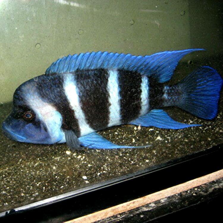 キフォティラピア ギベローサ ザイールブルー カパンパ ±6-7cm 4匹 ZAIRE BLUE Kapampa フロントーサ アフリカン シクリッド タンガニイカ_WILD成魚個体参考フォトです