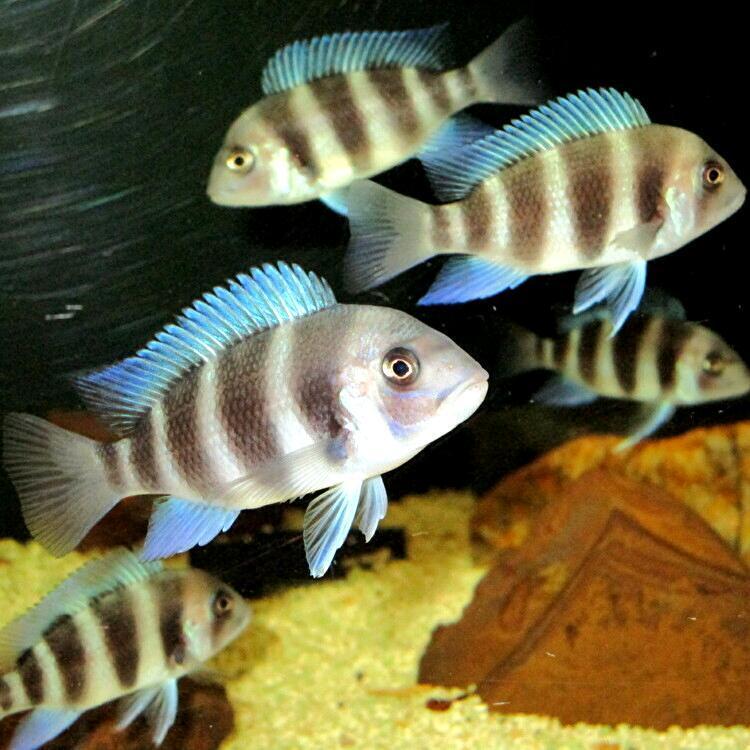 キフォティラピア ギベローサ ザイールブルー カパンパ ±6-7cm 4匹 ZAIRE BLUE Kapampa フロントーサ アフリカン シクリッド タンガニイカ_複数ストックより元気な個体4匹発送します
