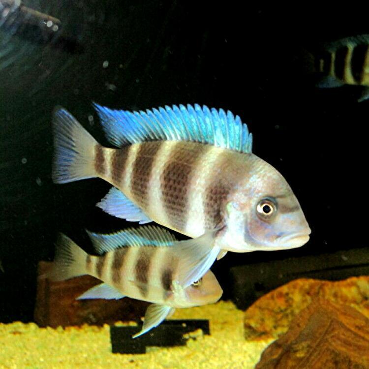キフォティラピア ギベローサ ザイールブルー カパンパ ±6-7cm 4匹 ZAIRE BLUE Kapampa フロントーサ アフリカン シクリッド タンガニイカ_画像9
