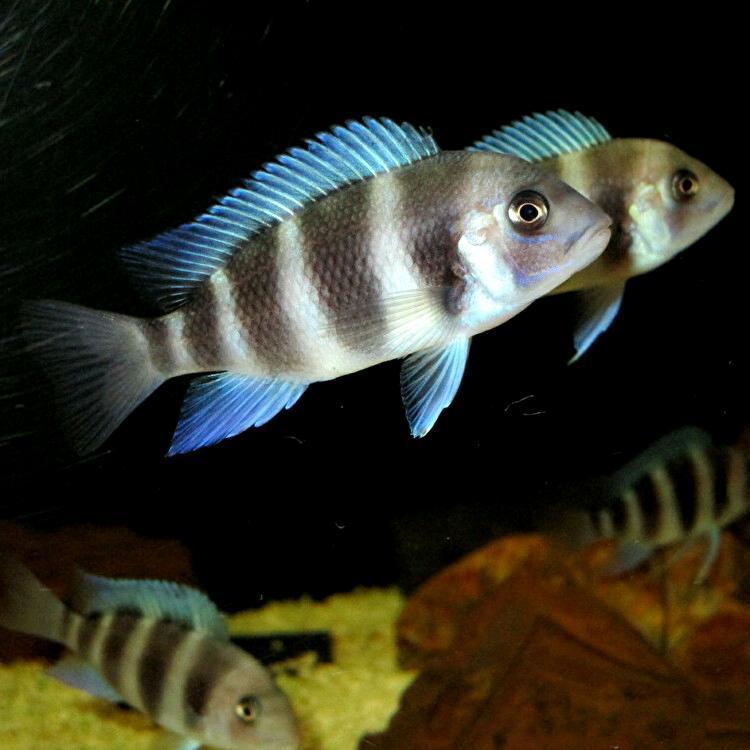 キフォティラピア ギベローサ ザイールブルー カパンパ ±6-7cm 4匹 ZAIRE BLUE Kapampa フロントーサ アフリカン シクリッド タンガニイカ_画像10