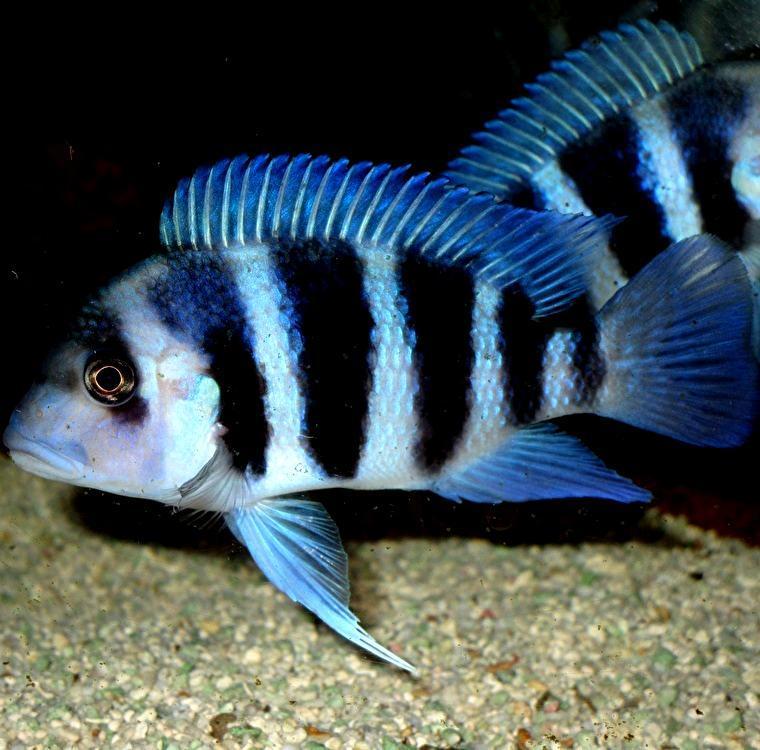 キフォティラピア ギベローサ ザイール ブルー モバ ±13cm 青 ZAIRE BLUE MOBA フロントーサ アフリカン シクリッド タンガニイカ 熱帯魚_画像5