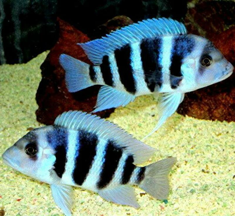 キフォティラピア ギベローサ ザイール ブルー モバ ±13cm 青 ZAIRE BLUE MOBA フロントーサ アフリカン シクリッド タンガニイカ 熱帯魚_画像6