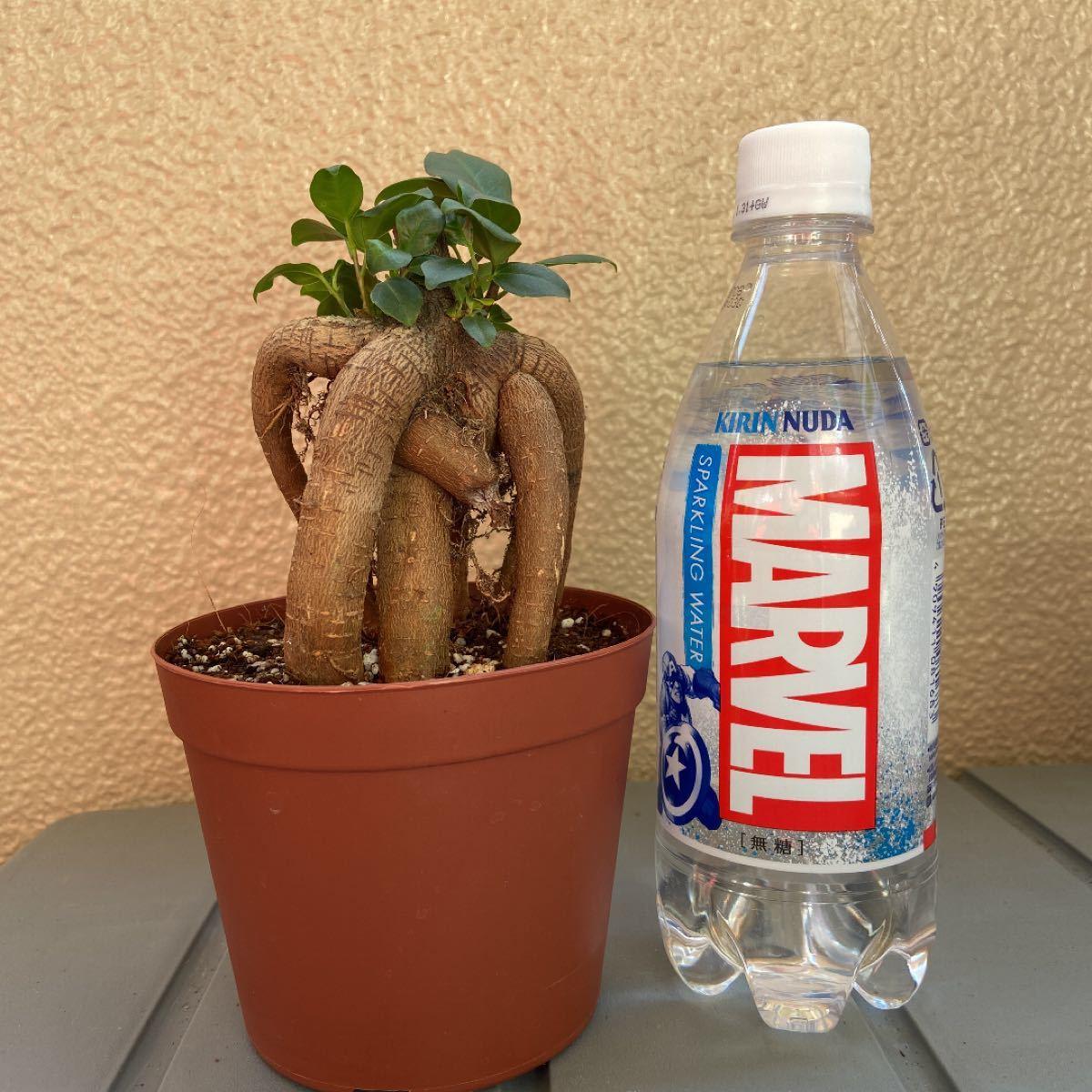 観葉植物 ガジュマル B