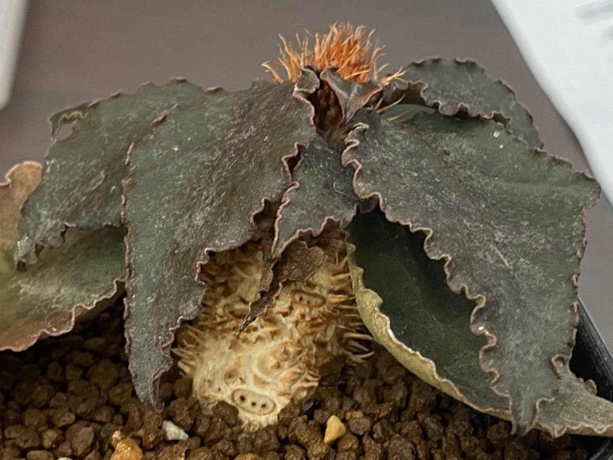 多肉植物 ユーフォルビア フランコイシー