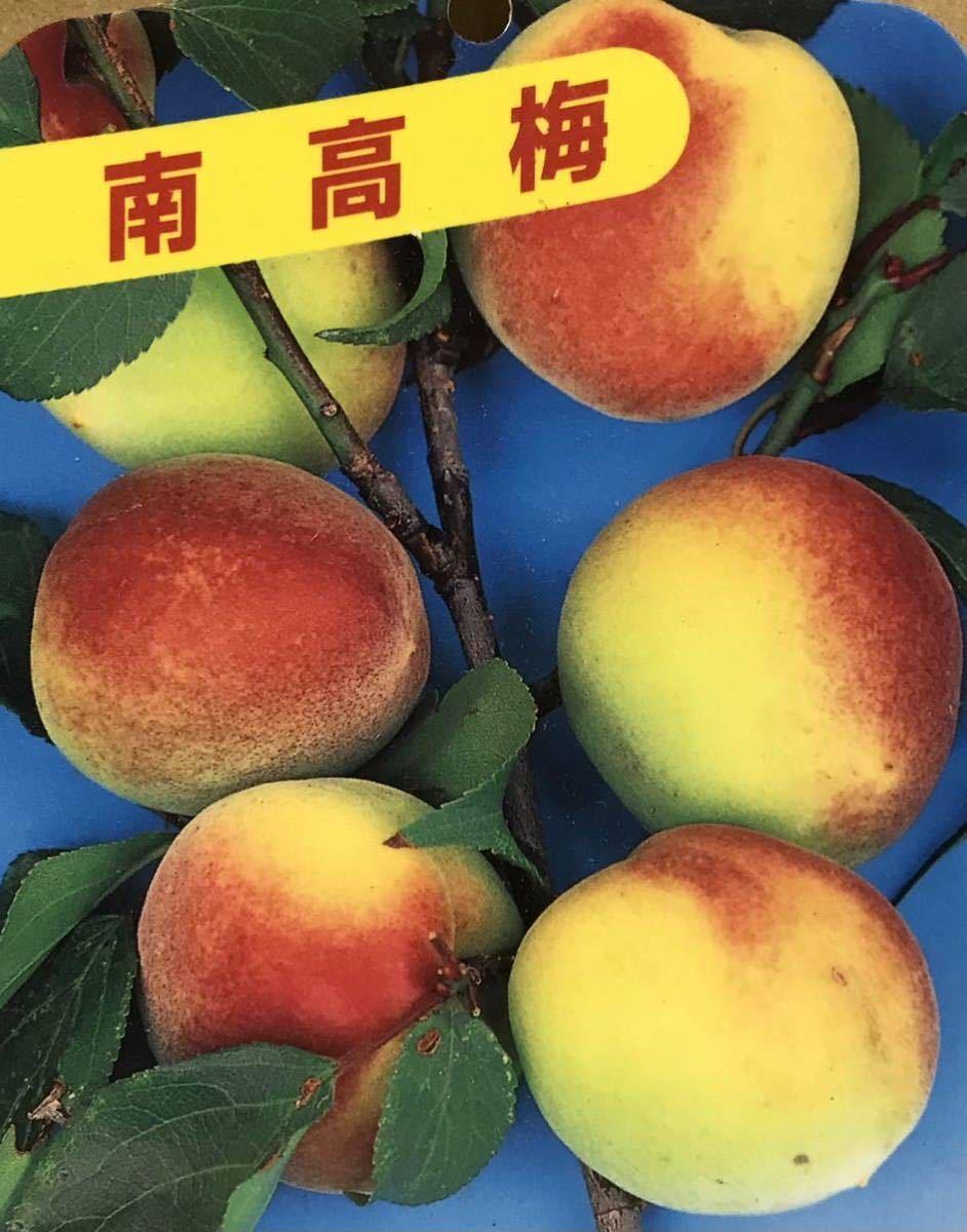 梅干し作りに最適品種 南高梅 接木苗木_画像3