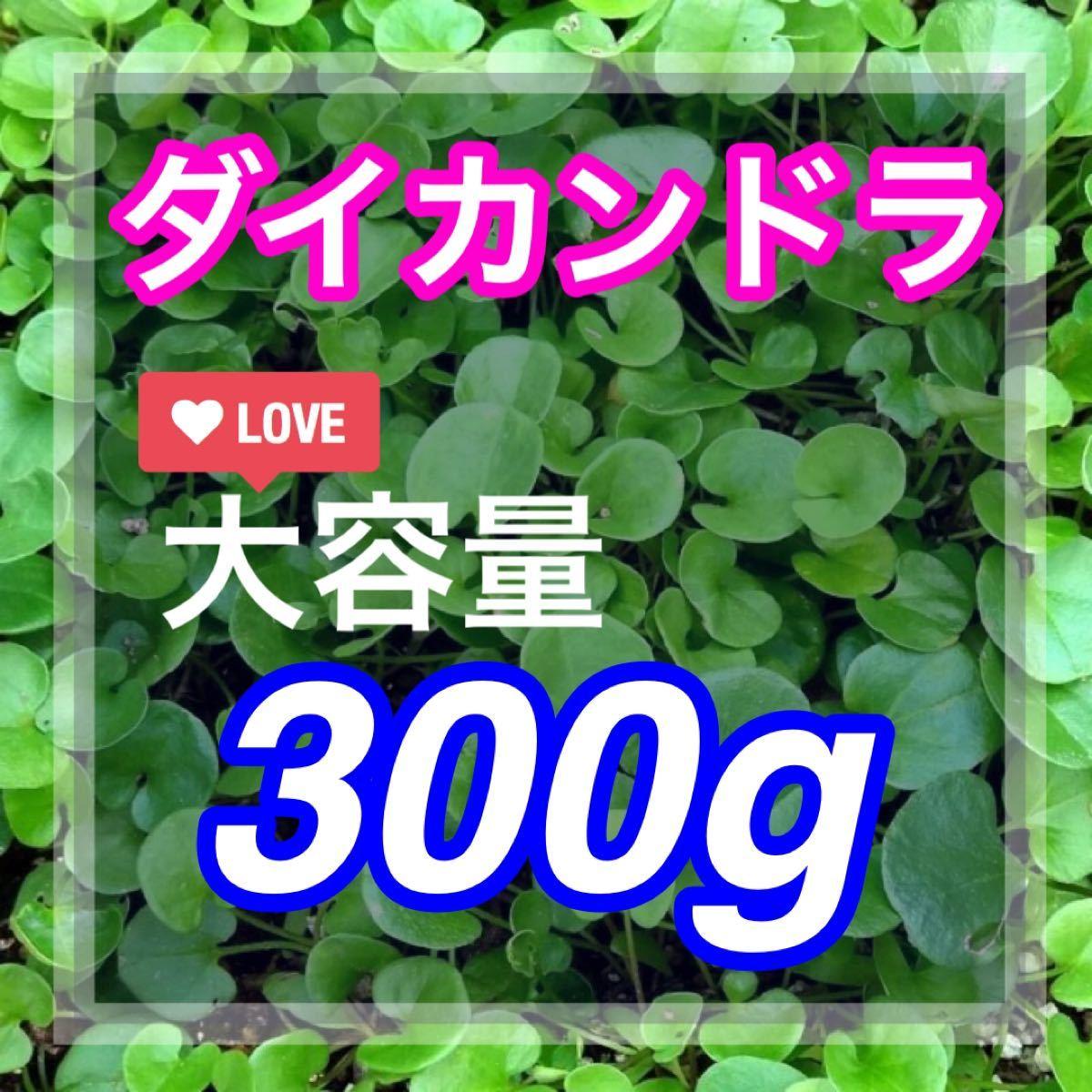 【最安値】ディコンドラ、ダイカンドラ 300g種子。お洒落グランドカバー、芝生へ