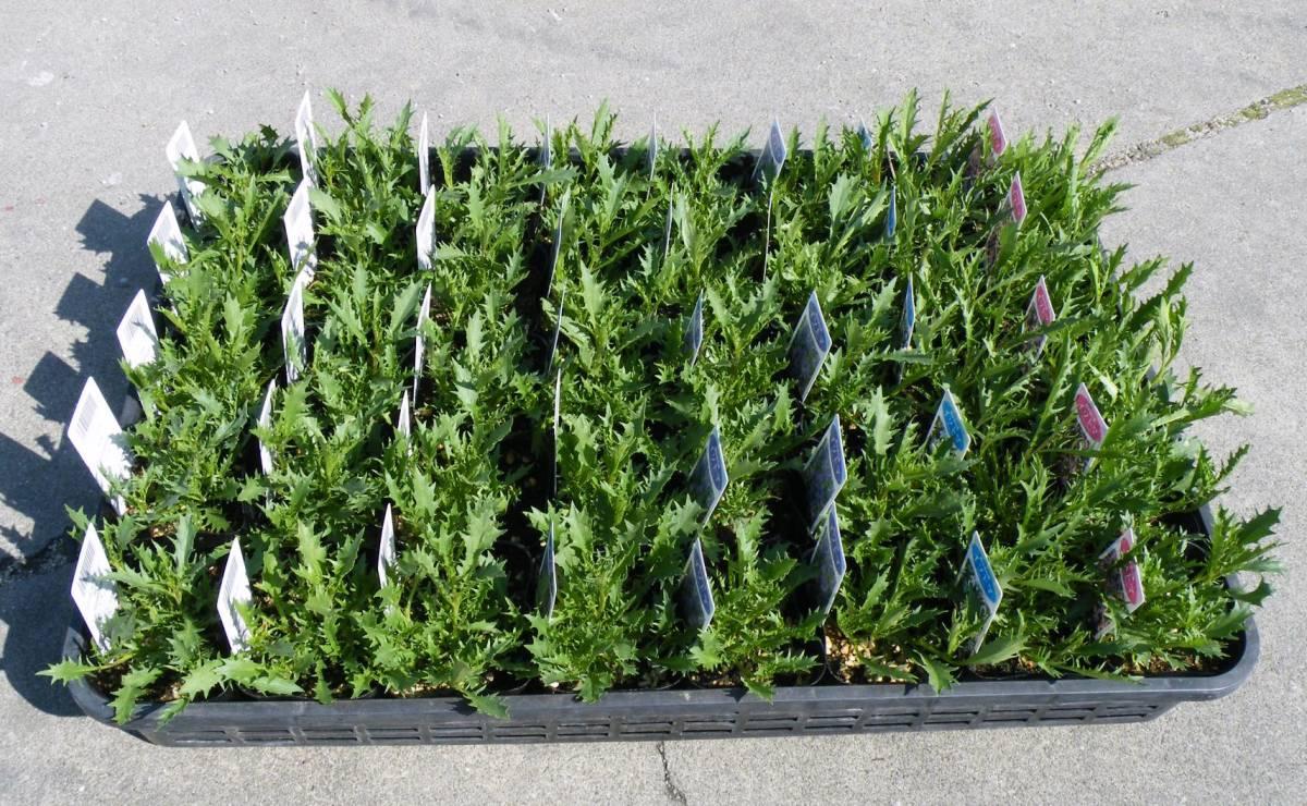 【農園】■イソトマ 3色ミックス■花苗 40ポット 生産農園_40ポット