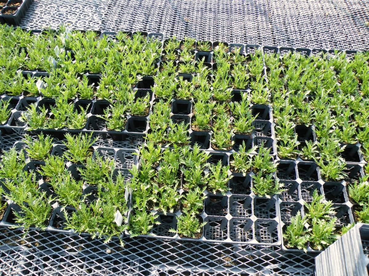 【農園】■イソトマ 3色ミックス■花苗 40ポット 生産農園_画像5