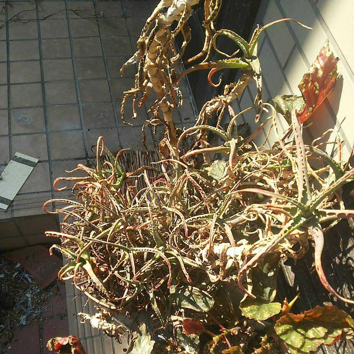 キダチアロエ 挿し木用 茎5本 切り枝_画像1