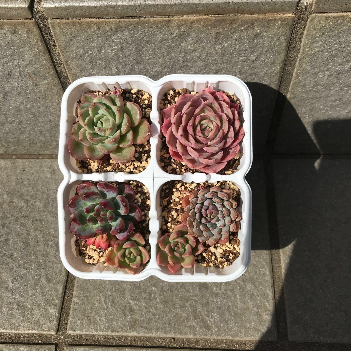 多肉植物韓国苗寄せ植えセット