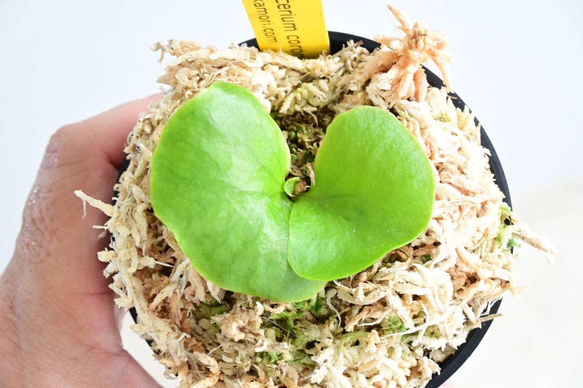 P.coronarium Thin frond⑤ @bikamori.com コロナリウム ビカクシダ