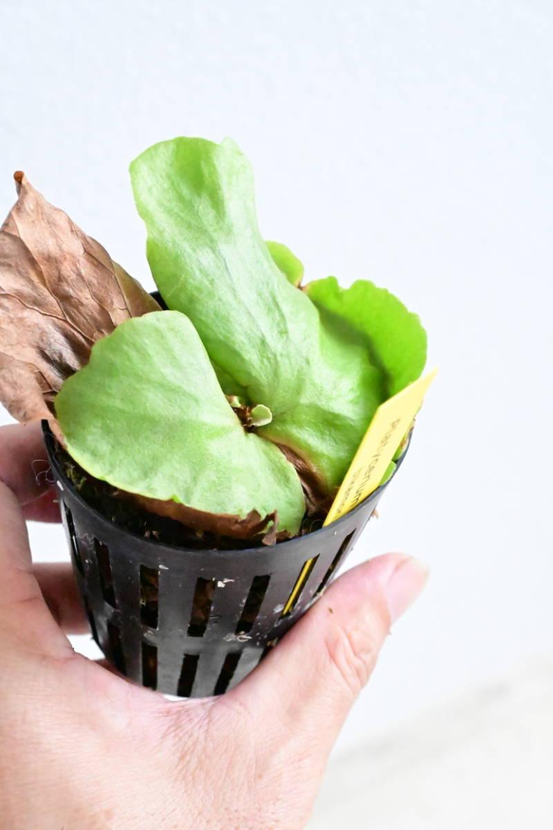 P.Grandeer(P.grande × P.ridleyi)②  @bikamori.com ビカクシダ グランディアー