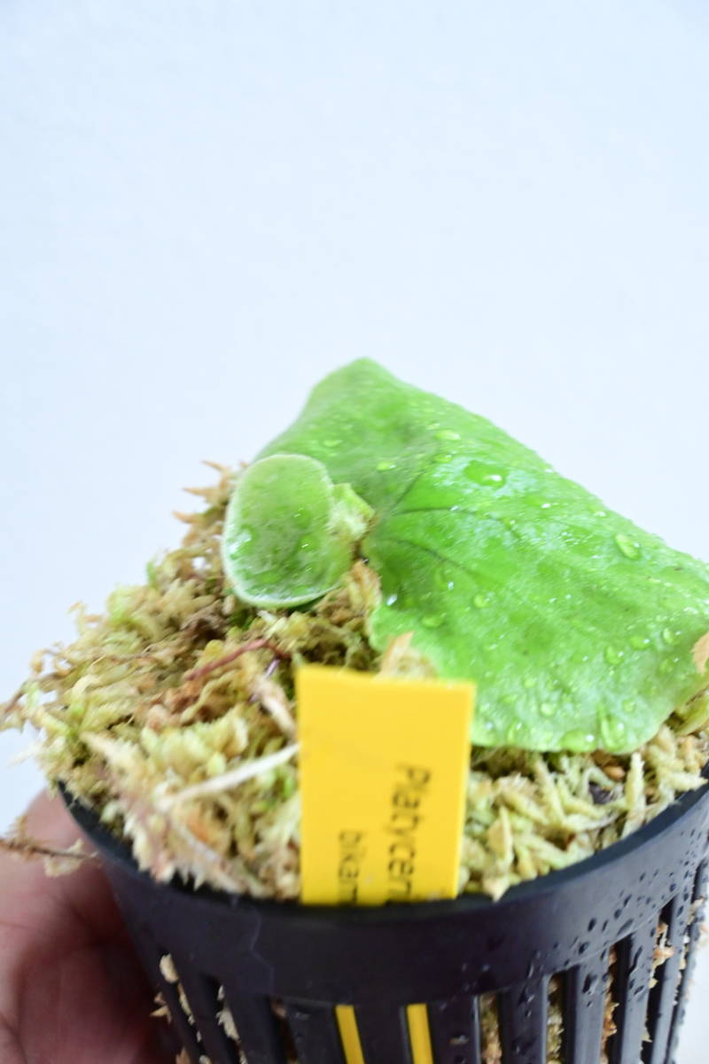 P.Erawan(P.elephantotis x P.madagascariense)① @bikamori.com エラワン ビカクシダ