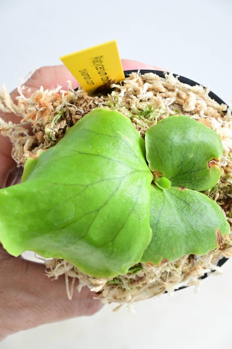 P.coronarium Thin frond① @bikamori.com コロナリウム ビカクシダ