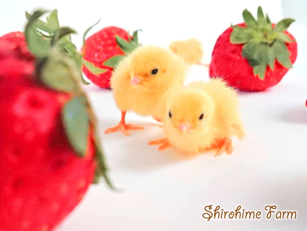 ◆強烈なかわいさ!!◆ ヒメウズラ【100%白姫】有精卵 6個 ■ ~おうちで楽しく幸せな時間を♪ ~ ■しろひめ牧場■_給餌はいらないよ。そっと見守ってね。