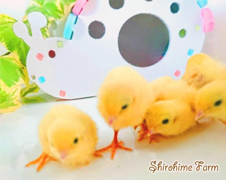 ◆強烈なかわいさ!!◆ ヒメウズラ【100%白姫】有精卵 6個 ■ ~おうちで楽しく幸せな時間を♪ ~ ■しろひめ牧場■_たくさん育てています。