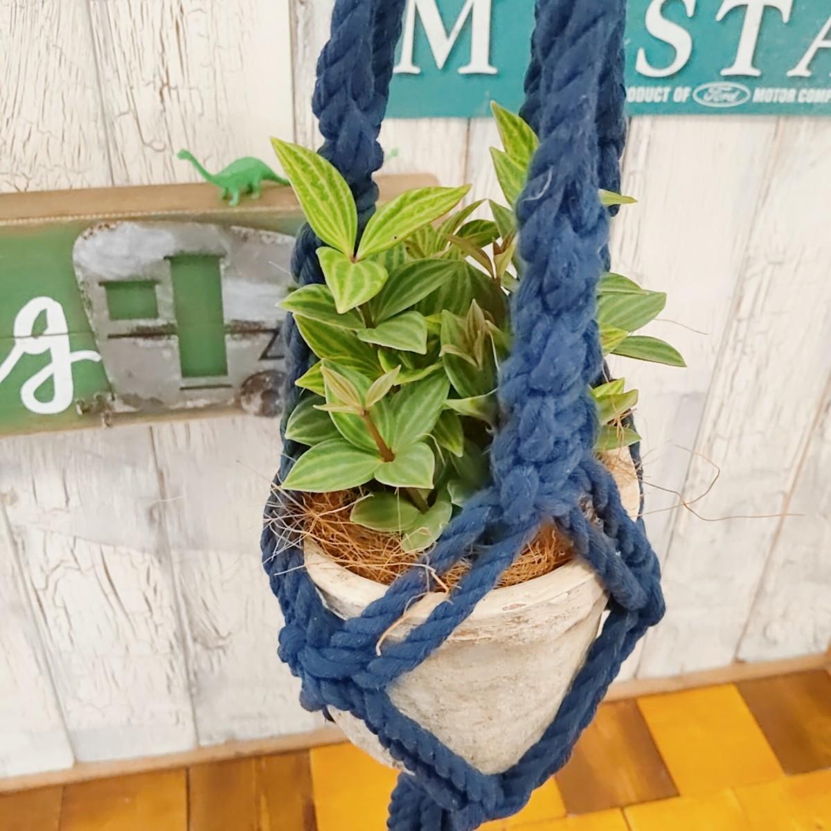 【観葉植物】ペペロミア プテオラータ