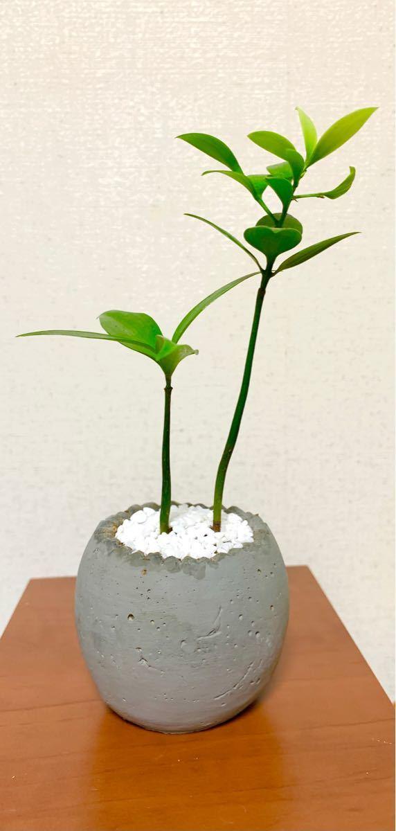 陶器入・梛(ナギ)の木 幸運・縁結び・厄除の木