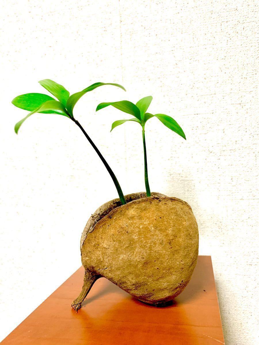 ナチュラル・ブッダナッツ入・梛(ナギ)の木 幸運・縁結び・厄除の木