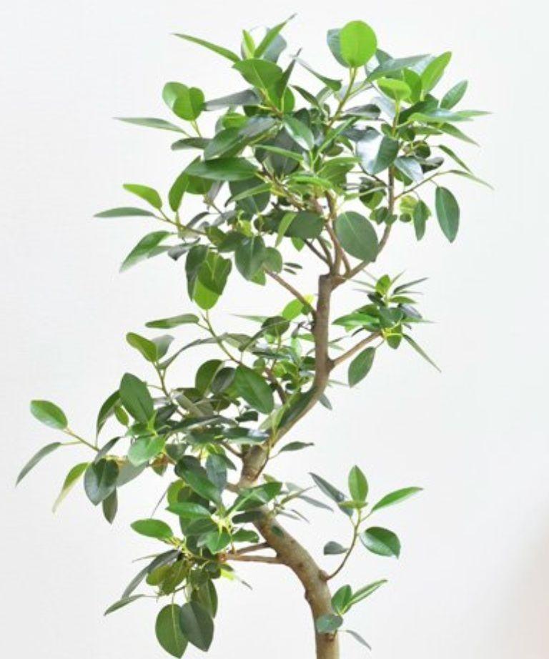[挿し木用]フランスゴムの木 枝葉