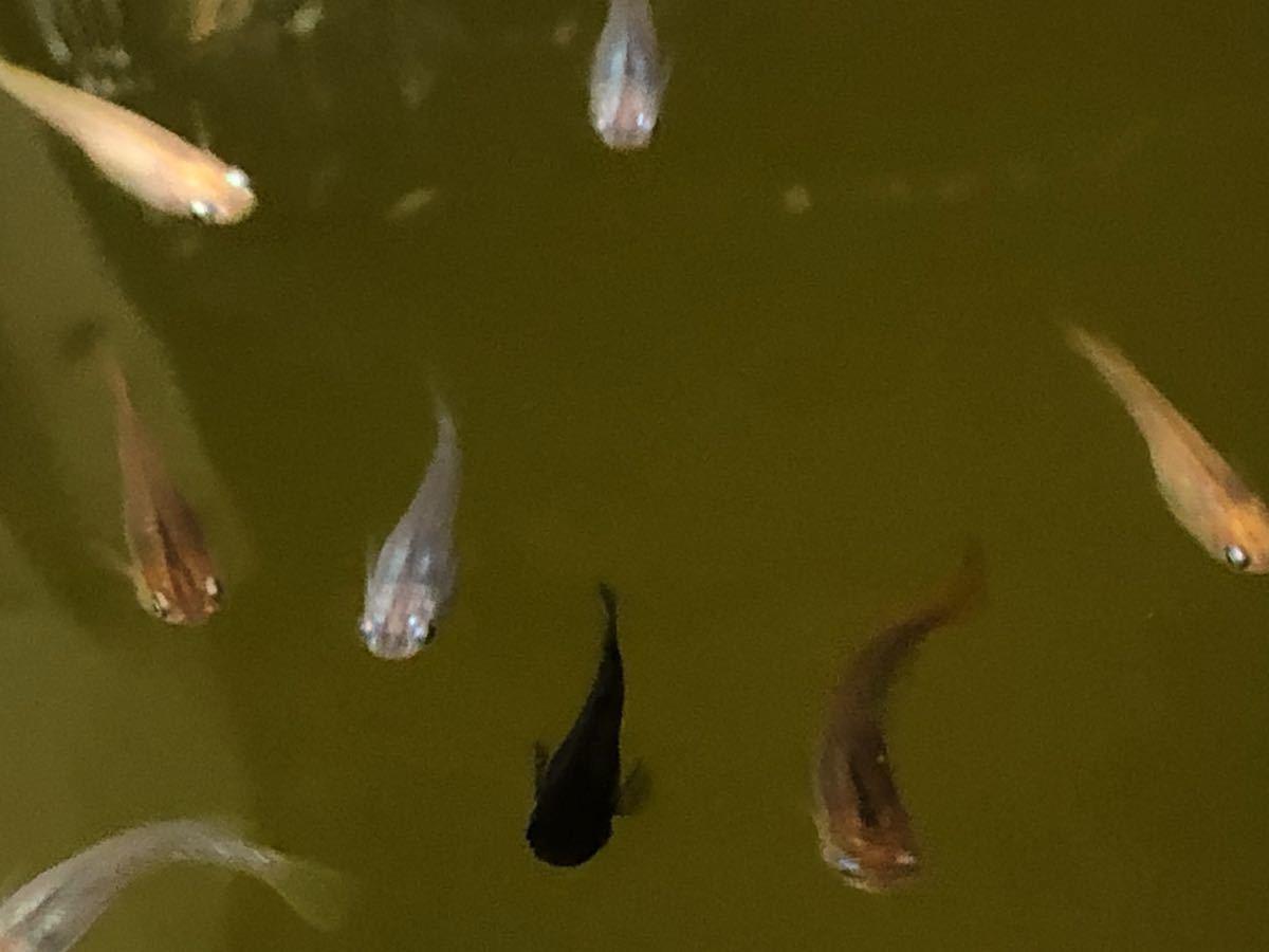 【ご要望がありましたら種水1点付きます】東北越冬いろいろめだか有精卵30個+α になります。『自然を育みましょう』_画像4