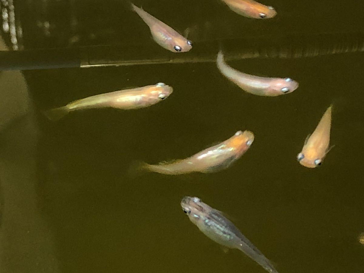 【ご要望がありましたら種水1点付きます】東北越冬いろいろめだか有精卵30個+α になります。『自然を育みましょう』_画像5