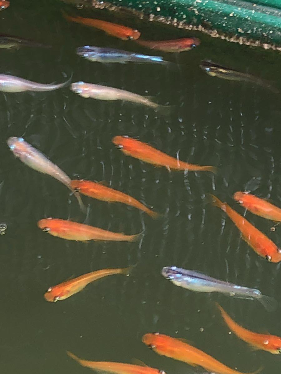 【ご要望がありましたら種水1点付きます】東北越冬いろいろめだか有精卵30個+α になります。『自然を育みましょう』_画像3