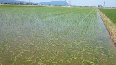 【令和2年産】【新米】 新潟県認証 無農薬 特別栽培米コシヒカリ 白米紙袋25kg_画像1
