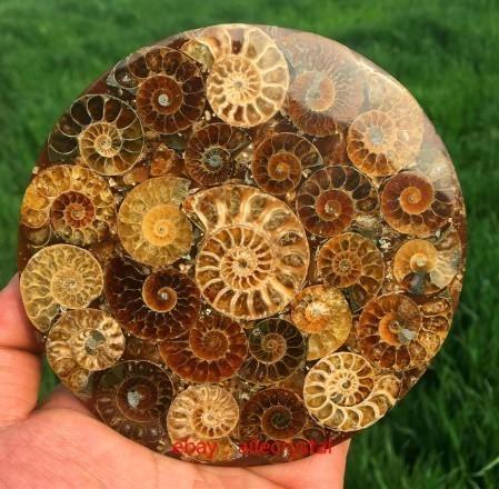 天然 アンモナイト 化石 ヒーリング 趣味 コレクション 標本 ナチュラルアンモナイト コレクション_画像1