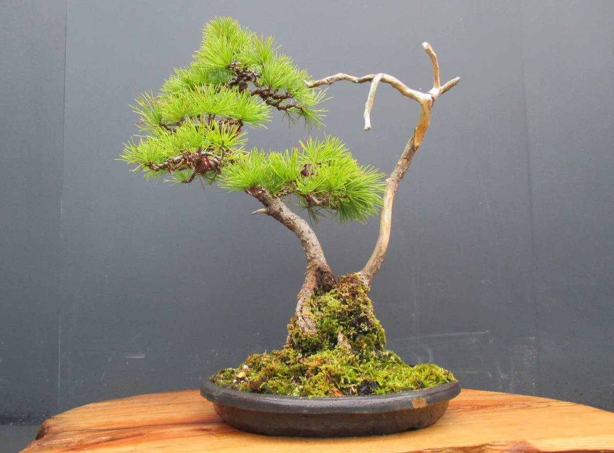※ 五葉松 ※ 寄植え 樹高43cm.樹幅36cm.奥行34cm_画像8