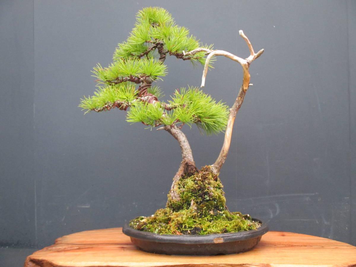 ※ 五葉松 ※ 寄植え 樹高43cm.樹幅36cm.奥行34cm_画像1