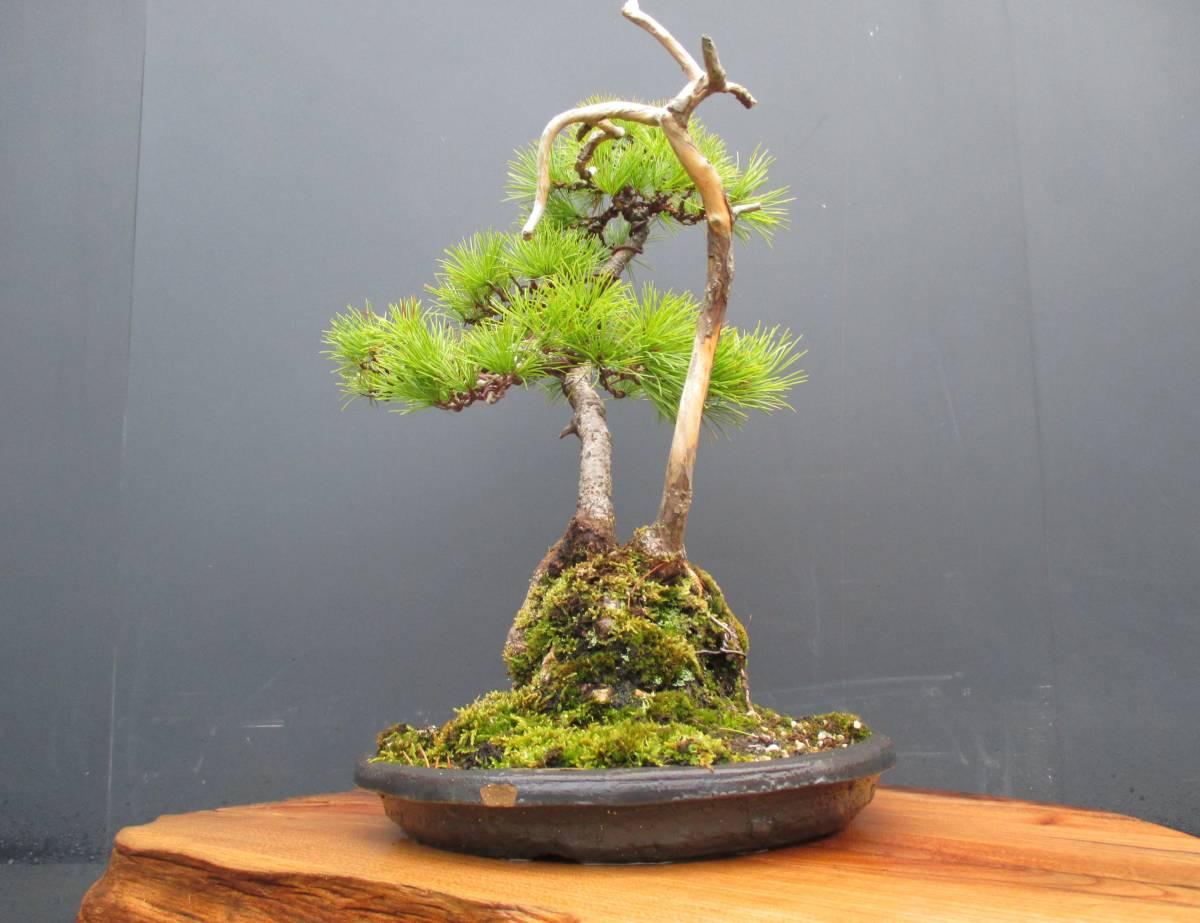 ※ 五葉松 ※ 寄植え 樹高43cm.樹幅36cm.奥行34cm_画像2