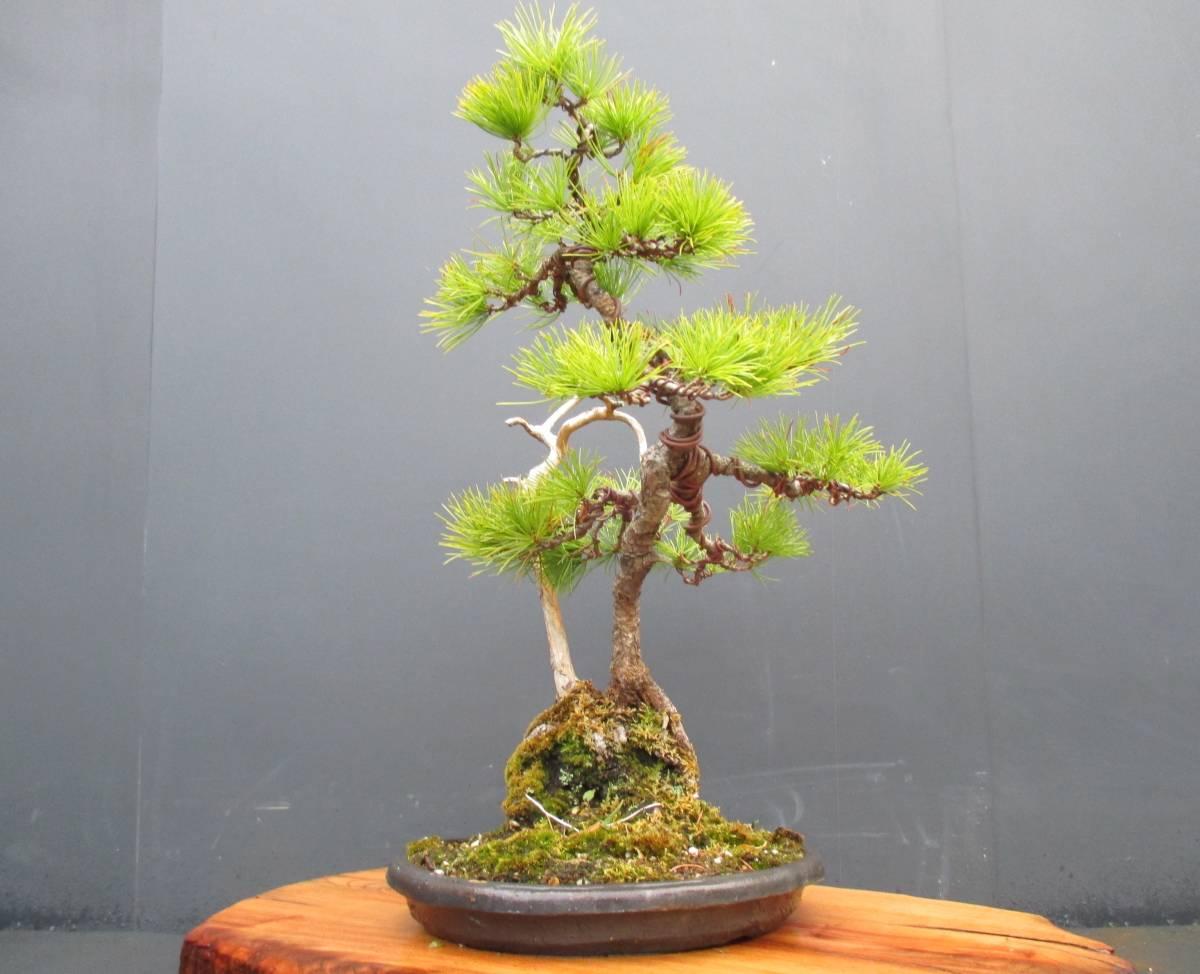 ※ 五葉松 ※ 寄植え 樹高43cm.樹幅36cm.奥行34cm_画像5