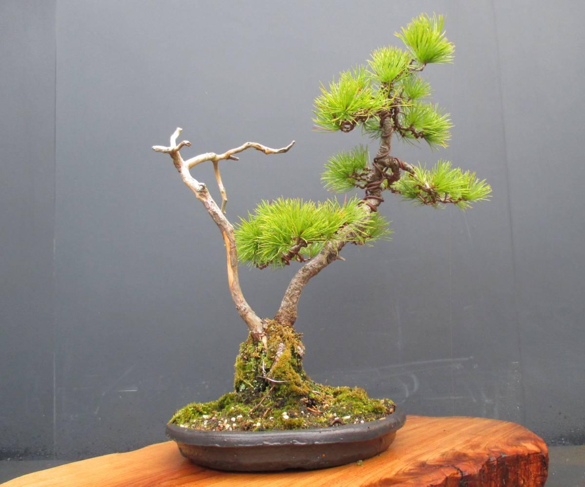 ※ 五葉松 ※ 寄植え 樹高43cm.樹幅36cm.奥行34cm_画像3