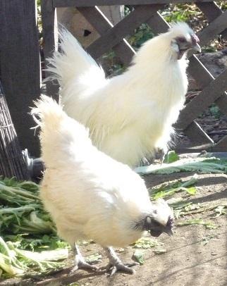 烏骨鶏(うこっけい)有精卵6個 フ_画像2