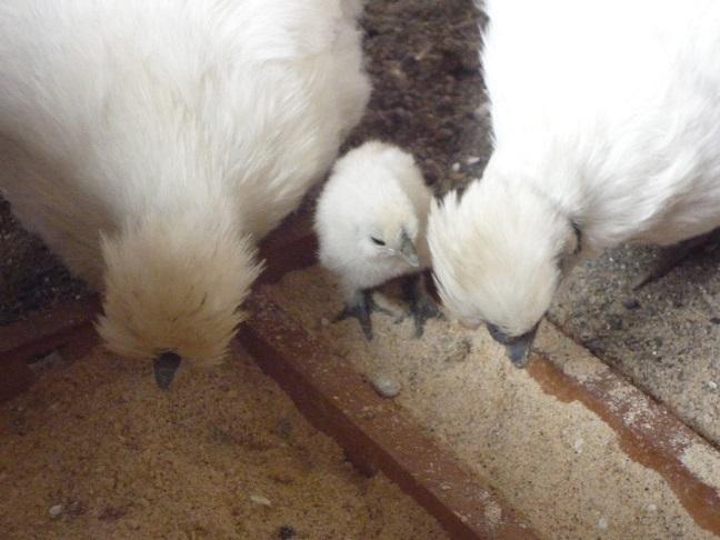 烏骨鶏(うこっけい)有精卵6個 フ_画像6